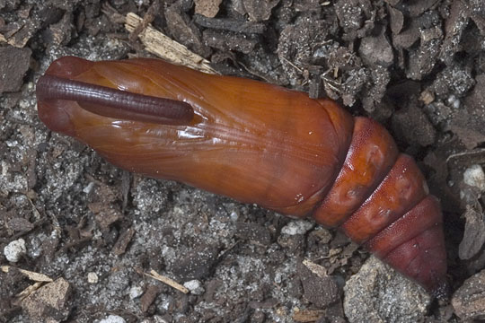 Pink-spotted Hawkmoth Pupa - Agrius cingulata