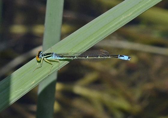 Damselfly 358 7033 - Enallagma antennatum - male