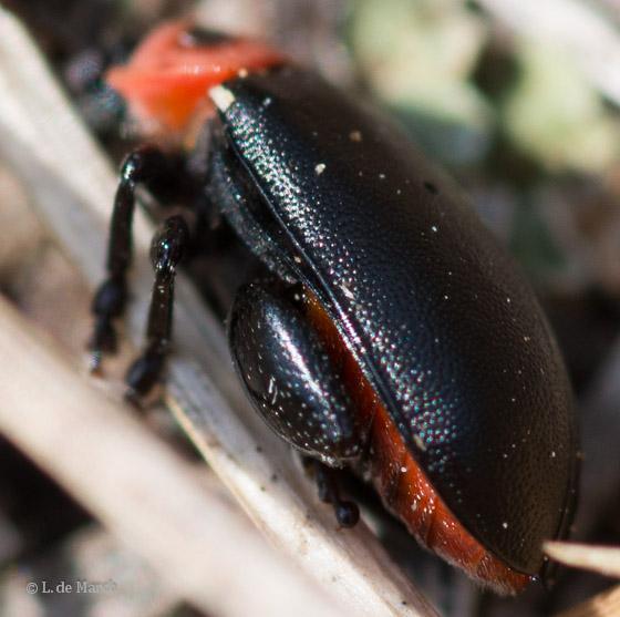 flea beetle - Kuschelina scripticollis