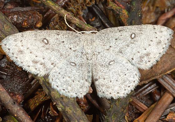 White Moth w/ Brown Markings - Cyclophora pendulinaria