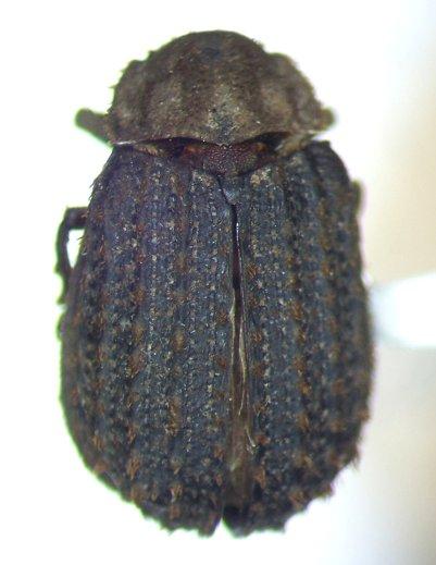 Trox hamatus - male