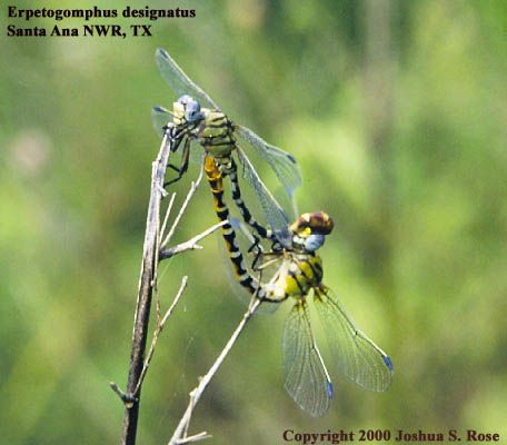 Eastern Ringtails in the wheel - Erpetogomphus designatus - male - female