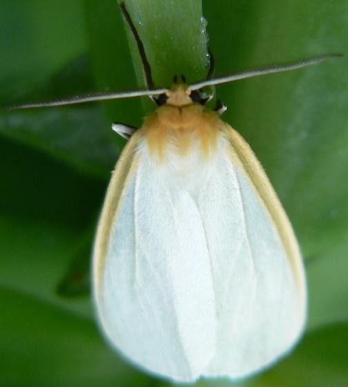 Delicate Cycnia - Cycnia tenera