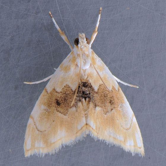 4881 - Lipocosma sicalis