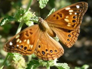 Hackberry Emporer - Asterocampa celtis - female