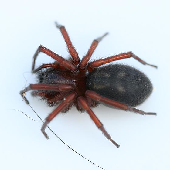 Spider - Callobius - female
