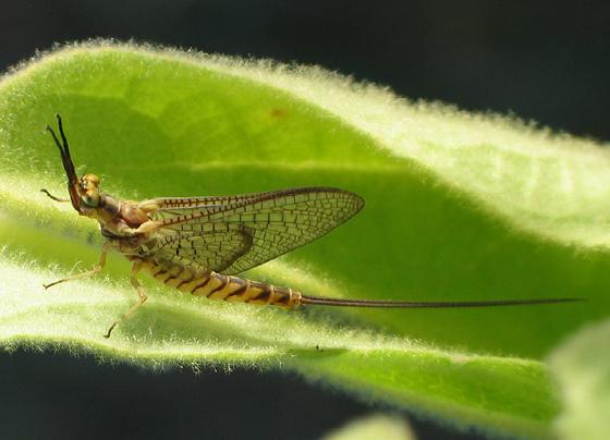Large Mayfly - Hexagenia limbata - male