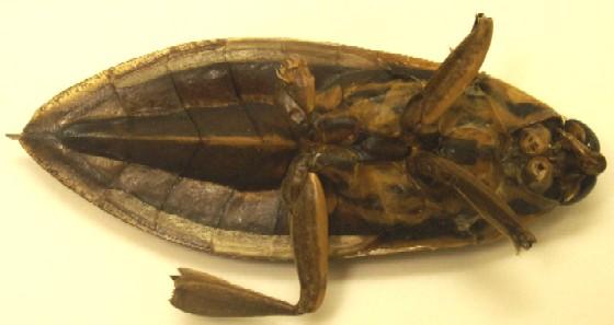 Eastern toe biter, deceased, bottom - Benacus griseus