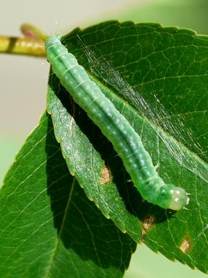caterpillar - July 2 - Pandemis lamprosana