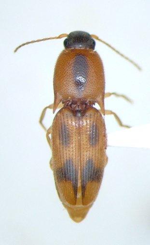 Aeolus mellillus - female