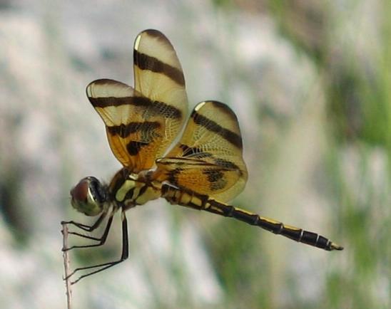Halloween Pennant - Celithemis eponina - male