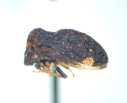 Publilia concava - Publilia reticulata