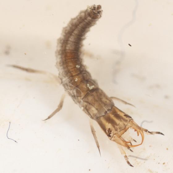 Hydrophilid larva - Hydrochus