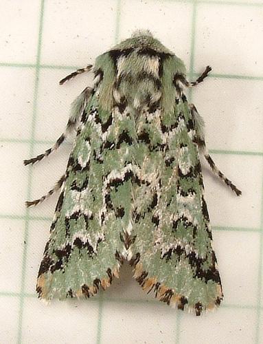 1143c Feralia cf. F. deceptiva - Deceptive Sallow Moth 10006 - Feralia deceptiva