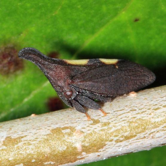 treehopper - Enchenopa