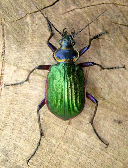 Caterpillar Hunter - Calosoma scrutator