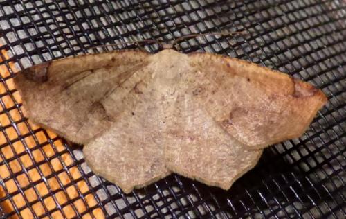 3/5/18 moth 2 - Antepione thisoaria