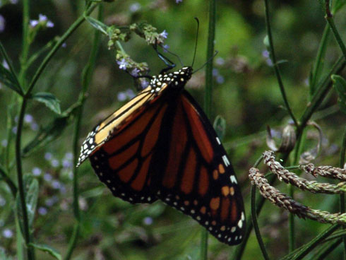 Monarch - Danaus plexippus - female