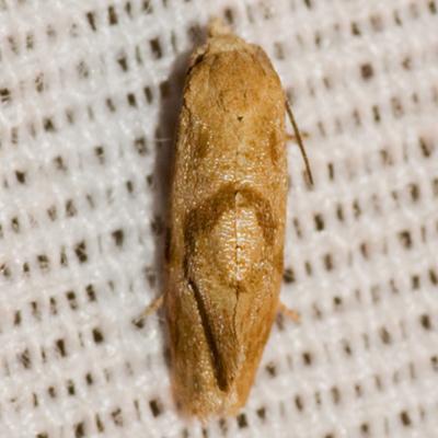 Tortricid Moth - Platphalonidia magdalenae