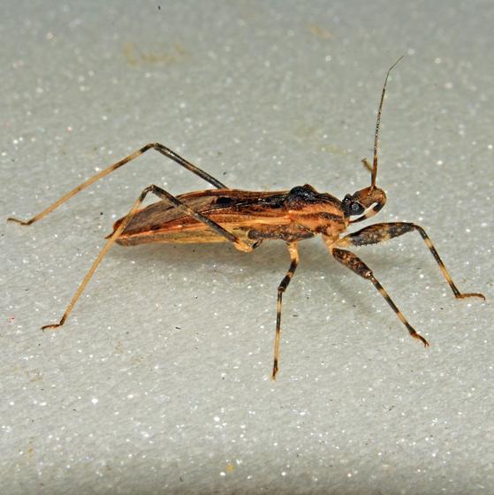 Bug 06.29.2009 115 - Oncocephalus geniculatus