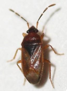 Rhyparochromidae - Valtissius diversus