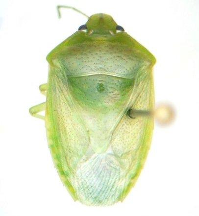Stinker - Banasa lenticularis