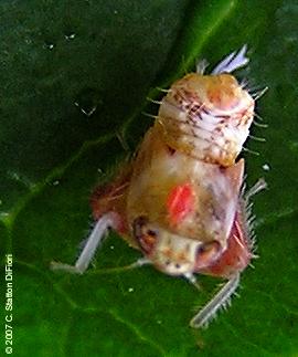 Nymph? - Orientus ishidae