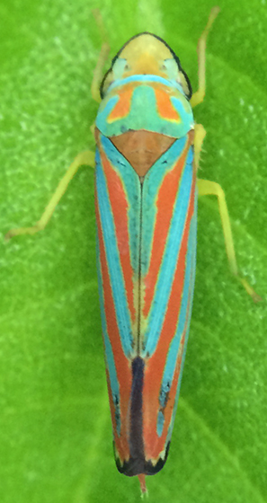 Graphocephala coccinea? - Graphocephala