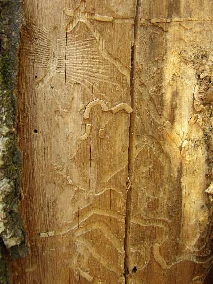 Bark Beetle Gallery