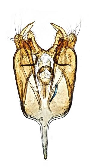Genitalia - Ventral View - Deoclona yuccasella - male