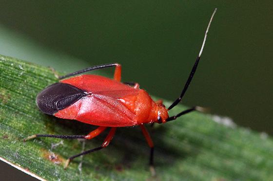 plant bug - Coccobaphes frontifer