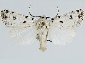 Hodges # 10912 - Anicla cemolia - male