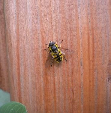 Unknown bee - need help IDing - Myathropa florea
