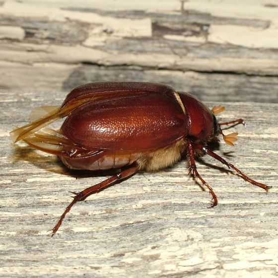 Red horned beetles - photo#12