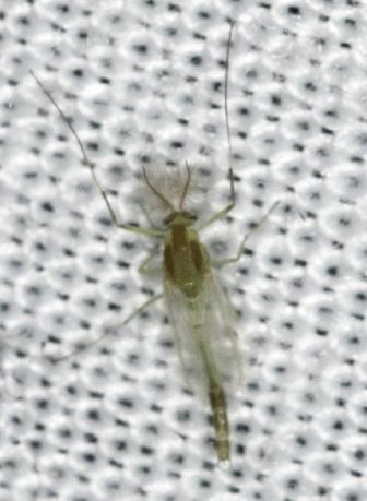 Diptera - Parachironomus - male