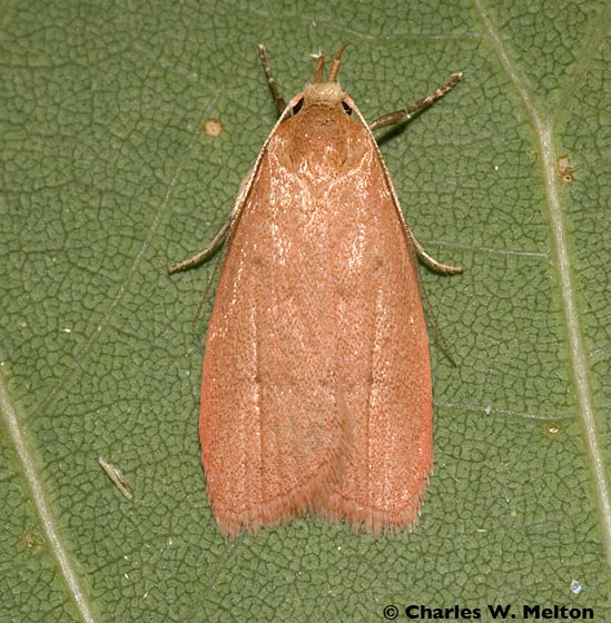 Moth - Himmacia huachucella