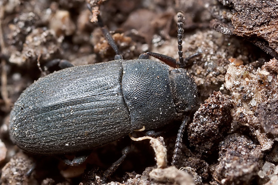 Darkling Beetle - Blapstinus substriatus