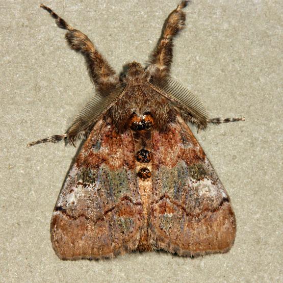 Cinnamon Tussock Moth  - Dasychira cinnamomea