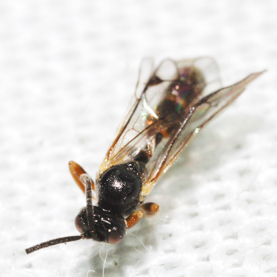 Unknown Wasp - Orthopelma - male