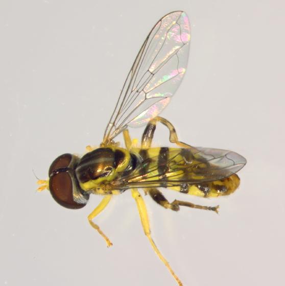 Syrphidae  - Toxomerus geminatus - male