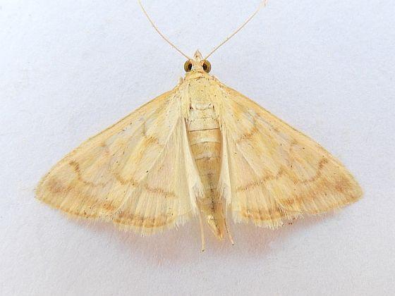 Pennsylvania Moth - Hahncappsia mancalis