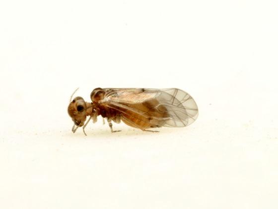Peripsocus stagnivagus - female