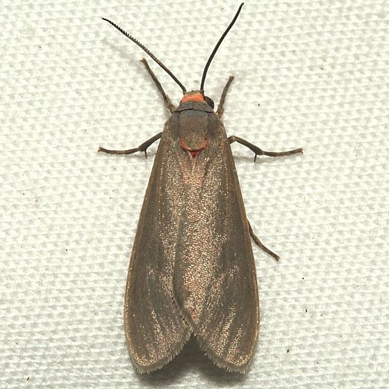 Moth - Pygarctia murina
