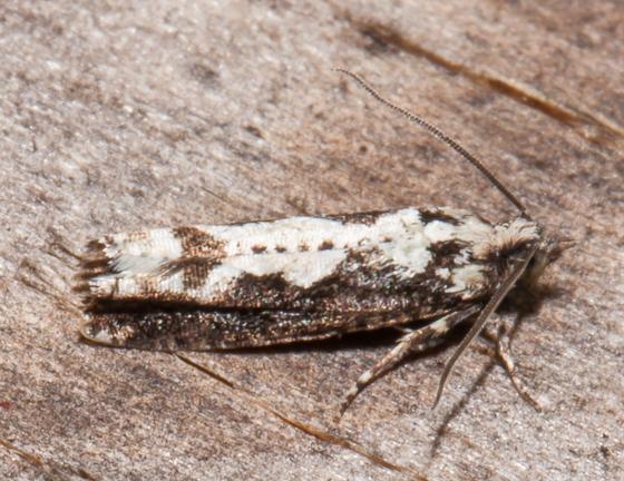 Chimoptesis pennsylvaniana? - Chimoptesis pennsylvaniana