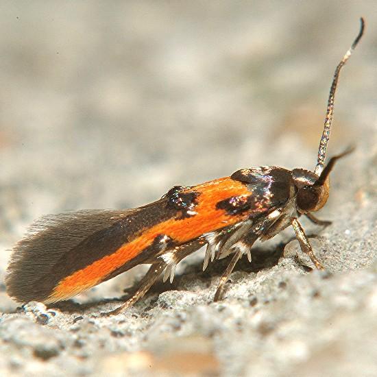 Fine moth - Euclemensia bassettella