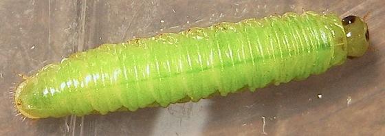 Wandering larva - Onycholyda sitkensis