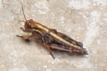 Acrididae ID