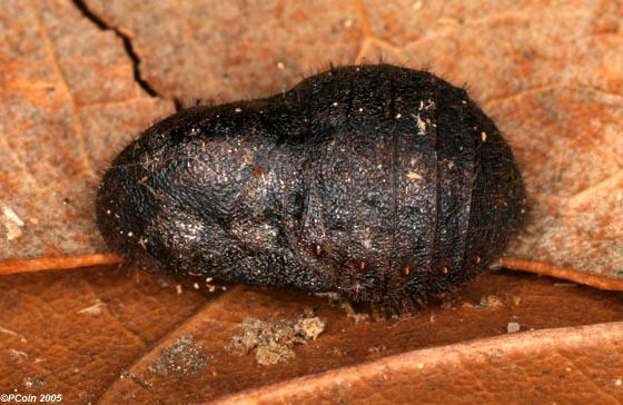 Gray Hairstreak (Pupa) - Strymon melinus