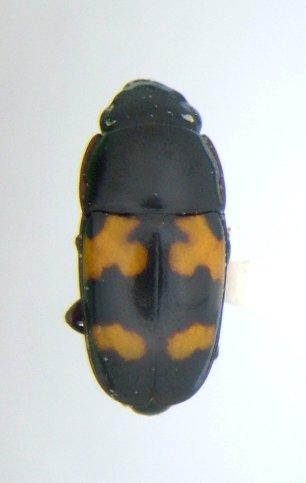 Glischrochilus fasciatus