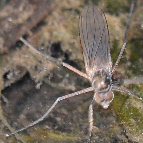 Fly(?) on water - Hydrophorus